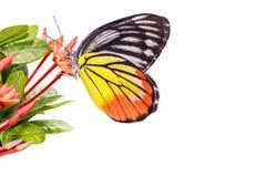Geschilderde Jezebel (indica Delias hyparete) Vlinder stock afbeelding