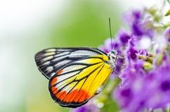 Geschilderde Jezebel kleurrijke vlinder Stock Foto's