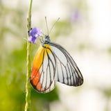 Geschilderde Jezebel Vlinder Royalty-vrije Stock Afbeelding