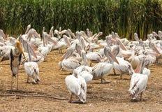 Geschilderde ooievaar en pelikaantroep van vogels Royalty-vrije Stock Foto