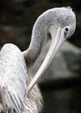 Geschilderde Ooievaar in Kuala Lumpur Bird Park Stock Afbeelding