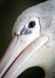 Geschilderde Ooievaar in Kuala Lumpur Bird Park Royalty-vrije Stock Fotografie