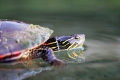 Geschilderde schildpad stock fotografie