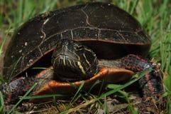 Geschilderde schildpad stock afbeeldingen