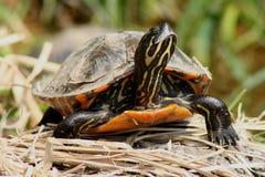 Geschilderde Schildpad Stock Foto