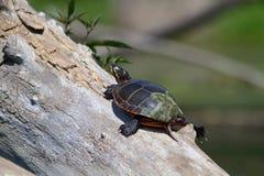 Geschilderde Schildpad op een boomtak 3 Royalty-vrije Stock Foto's