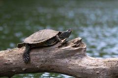 Geschilderde Schildpad op een boomtak Stock Foto