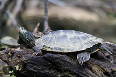 Geschilderde Schildpad op een rots Stock Fotografie
