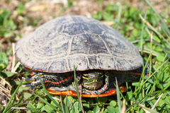 Geschilderde Schildpad (picta Chrysemys) Stock Foto's