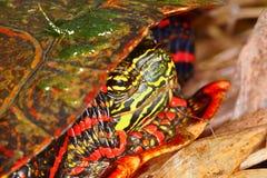 Geschilderde Schildpad (picta Chrysemys) Stock Afbeeldingen