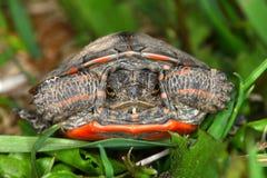 Geschilderde Schildpad (picta Chrysemys) Royalty-vrije Stock Afbeeldingen