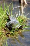 Geschilderde Schildpadden Royalty-vrije Stock Afbeelding