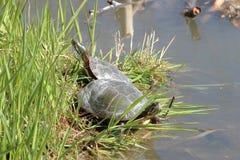 Geschilderde Schildpadden Royalty-vrije Stock Foto