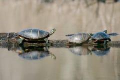Geschilderde Schildpadden Stock Afbeeldingen