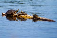Geschilderde Schildpadden die in de Zon zonnebaden. Royalty-vrije Stock Afbeelding