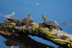 Geschilderde Schildpadden die in de Zon zonnebaden Royalty-vrije Stock Foto