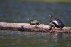 Geschilderde Schildpadden die uit hangen Royalty-vrije Stock Foto