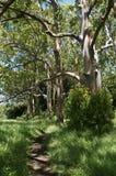 Geschilderde Schorseucalyptus stock foto