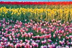 Geschilderde Tulpen Royalty-vrije Stock Foto's