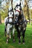 Geschirrpaarstute und -pferd, bereit, einen Wagen zu ziehen stockfoto