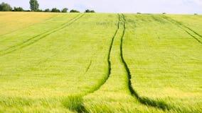 Geschleppte Traktorbahnen auf dem jungen Gelbgrüngerstengebiet Reifende Maispflanzen brennen im Wind durch Version drei von DOF stock video footage