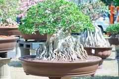 Geschlossen herauf Adeniumbaum oder -Wüstenrose im Blumentopf Stockfotos