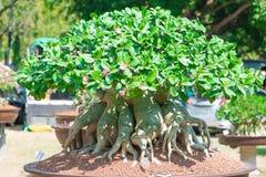 Geschlossen herauf Adeniumbaum oder -Wüstenrose im Blumentopf Lizenzfreie Stockfotos