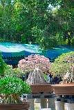 Geschlossen herauf Adeniumbaum oder -Wüstenrose im Blumentopf Lizenzfreies Stockfoto