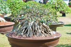 Geschlossen herauf Adeniumbaum oder -Wüstenrose im Blumentopf Lizenzfreie Stockfotografie