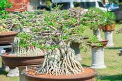 Geschlossen herauf Adeniumbaum oder -Wüstenrose im Blumentopf Stockfoto