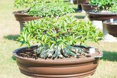 Geschlossen herauf Adeniumbaum oder -Wüstenrose im Blumentopf Stockbilder