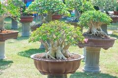 Geschlossen herauf Adeniumbaum oder -Wüstenrose im Blumentopf Stockfotografie