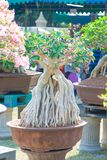 Geschlossen herauf Adeniumbaum oder -Wüstenrose im Blumentopf Lizenzfreies Stockbild