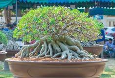 Geschlossen herauf Adeniumbaum oder -Wüstenrose im Blumentopf Lizenzfreie Stockbilder