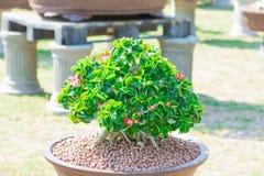 Geschlossen herauf Adeniumbaum oder -Wüstenrose im Blumentopf Stockbild