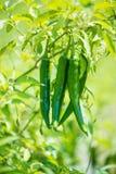 Geschlossen herauf grünen Paprika im Bauernhof lizenzfreie stockfotos