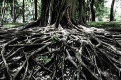 Geschlossen herauf große Baumwurzeln zeigen Sie Naturkonzept lizenzfreies stockfoto