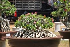Geschlossen herauf großen Adenium obesum Baum in der Betriebswettbewerbmesse von Nakor Lizenzfreie Stockfotos