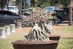 Geschlossen herauf großen Adenium obesum Baum in der Betriebswettbewerbmesse von Nakornpratom, Thailand Lizenzfreie Stockbilder