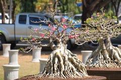 Geschlossen herauf großen Adenium obesum Baum in der Betriebswettbewerbmesse von Nakornpratom, Thailand Lizenzfreies Stockbild