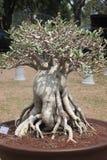 Geschlossen herauf großen Adenium obesum Baum in der Betriebswettbewerbmesse von Nakornpratom, Thailand Stockfotografie