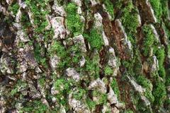 Geschlossen herauf raue Beschaffenheit des großen Baum-Stammes mit grünem Moos Lizenzfreie Stockbilder