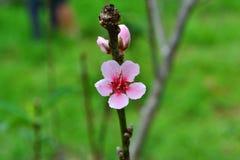 Geschlossen-oben blüht der Pfirsich, zackt, vornehmlich aus Lizenzfreies Stockfoto