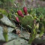 Geschlossene Blume auf Kaktus Aufwartung seiner Zeit lizenzfreie stockbilder