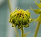 Geschlossene grüne und gelbe Sonnenblume mit einem hellen nebelhaften Gefühl stockfoto