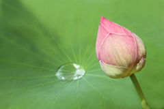 Geschlossene Lotosblüte Stockfotos