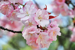 Geschlossene-oben Kirschblüte Stockfotos