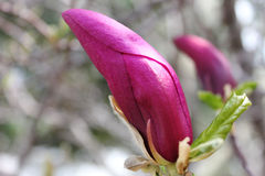 Geschlossene rote Magnolie Lizenzfreie Stockfotografie