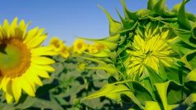 Geschlossene Sonnenblume Bearbeitung von Vielzahl für Pflanzenöle stock video
