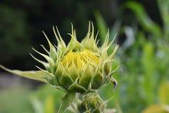 Geschlossene Sonnenblume im Sommer Lizenzfreies Stockbild